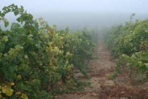 Malvasia Vines with the Monterey Bay fog rolling in.