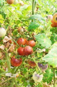 Deep red heirloom tomatoes in the hoop house.