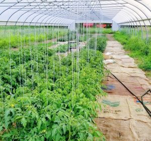 Rows of tomato plants in the hoop house.