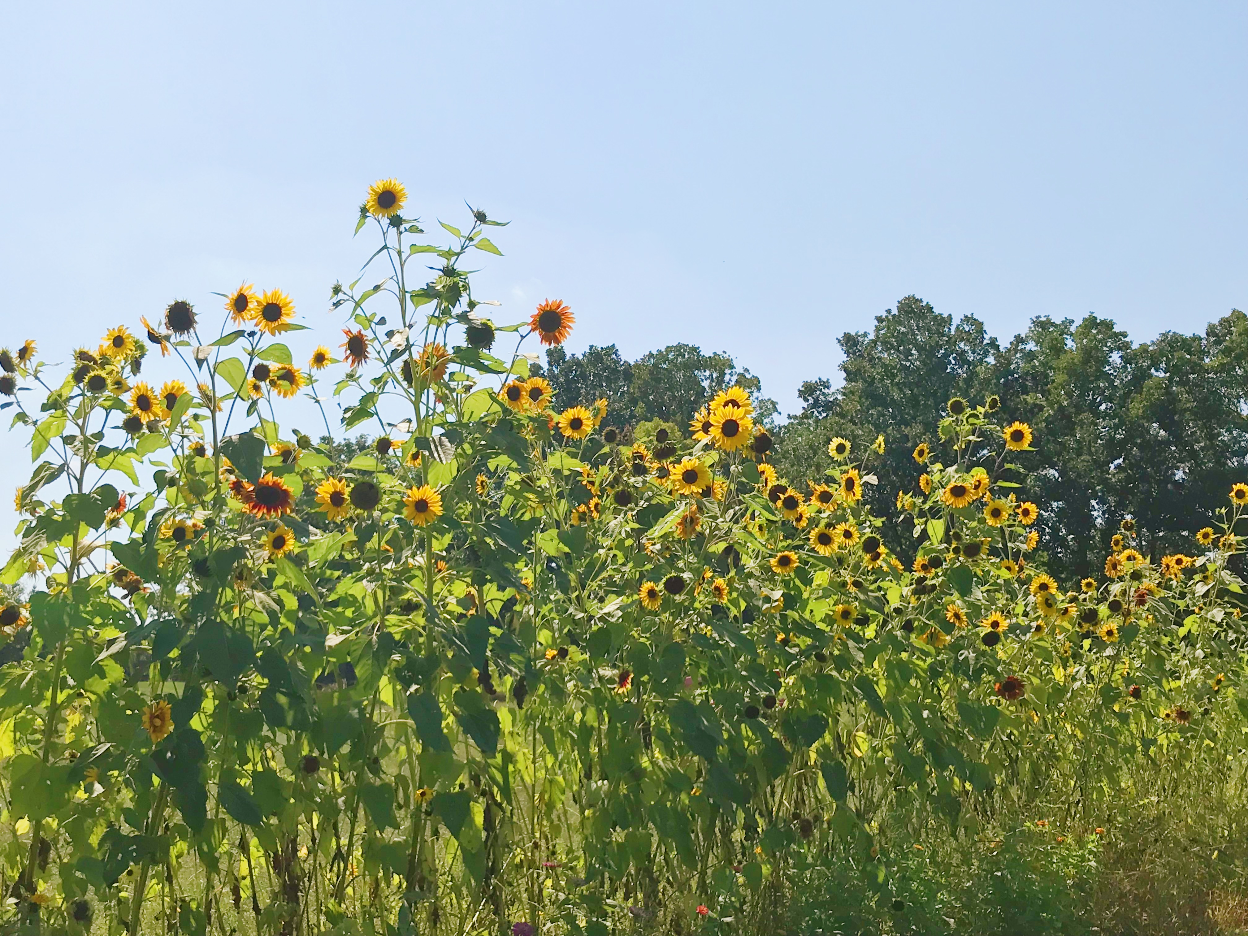 Rows of sunflowers at Tamchop Farm