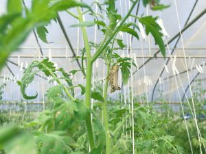 A close up of the tomato vines hooked to the trellis using tomahooks.