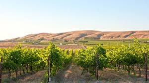 A Red Mountain vineyard, with the reddish colored dunes in the background.