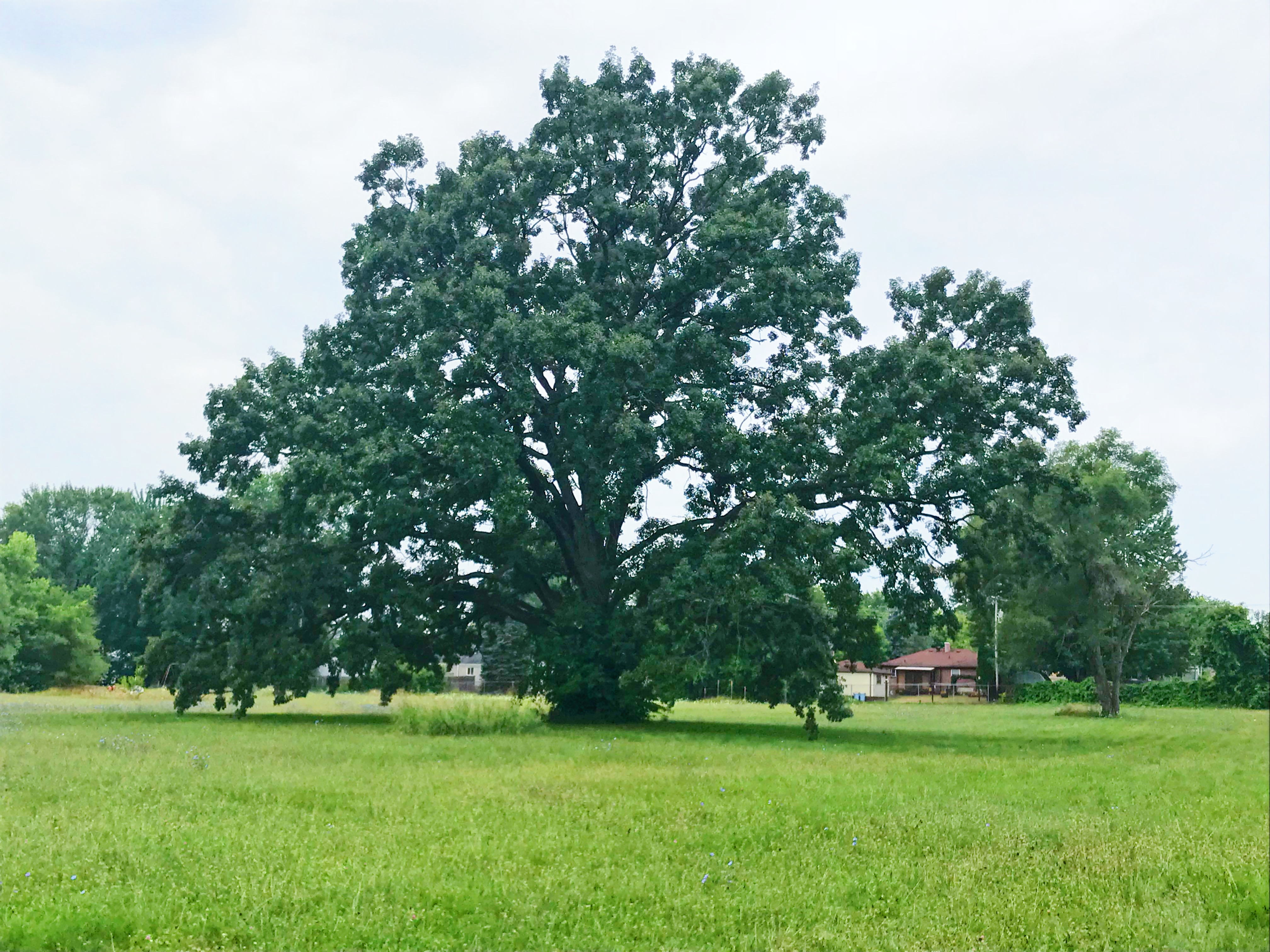 A large 300 year-old burr oak tree in the yard of the Kettering school.